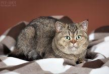 Aurora / British cat