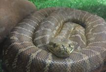 Our Python half albino