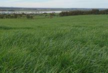 PG   24Seven Diploid Perennial Ryegrass