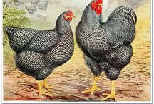 Poultry breeds images / Beautiful images of common and not so common chicken, duck,turkey and geese breeds  Michail J. Mavridis DVM