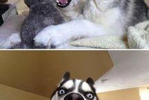 zwierzaki / Psy hasky
