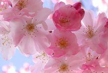 Čerešňové kvety