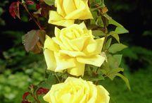květiny / orchideje , růže, fialky