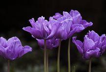 фиолетиовый / цвет  фиолетовый  и  сиреневый