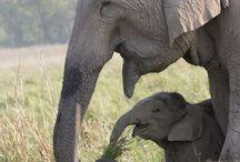 Sloni, žirafy