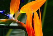 Strlitzia-rajski ptak