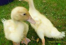 Donna's Ducks