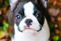 Boston terriers <3