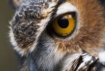 Owl ~ Photography, Facts / Facts and photos of owls. Inspiration: Hooty the Owl - character from Thornton W. Burgess books