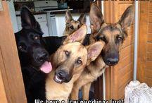 German Shepherds / For the love of the German Shepherd Dog breed