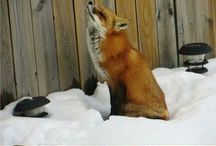 Foxes❤