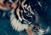 Tigers / My love for the most amazing creature on Earth. So beautiful. Tiger. ❤️