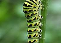 My caterpillars