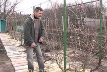 Сад Виноград