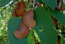 Colophospermum