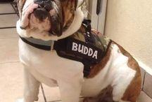 pecheras Bulldog ingles