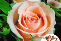 50pcs Champagne Rose Seeds DIY Home Garden Dec