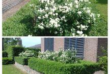 Boeren Jasmijn / De Boeren Jasmijn bij ons in de tuin. Nu op z'n mooist, in de knop, vol bloemen en een  heerlijke geur...
