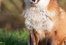 fox favour