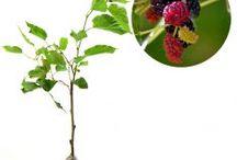 Pernah Berbuah / Semua tanaman dalam board ini bisa dikirim keseluruh Indonesia, silahkan order ya, tel: 0341-599399 I SMS center: 08569020300 atau kunjungi website kami www.kebunbibit.id