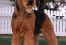 welsh terrier