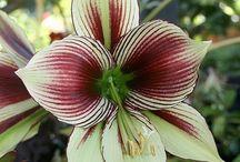 Amaryllis / Amaryllis I am growing or would love to have