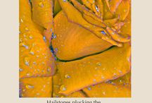 Hailstones / haiku and rose