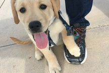 For Mu - Our Goldador! / Her formal name is Lemuria.  We call her Mu aka. MuBee Star! Is an English Labrador and Golden Retriever hybrid. She comes from two AKC pure bred lines and is a bundle of joy!!   She was born January 29, 2016.