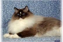 Ragdoll Cats with Blazes