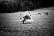 Deers @ Triangles