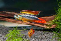 Aquariumvissen Zuid Amerika