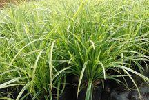 Turzyce Carex