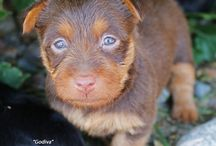 """Chocolate Australian Terrier Dunham Lake The Finest Chocolate """"Godiva"""" / A Chocolate Australian Terrier puppy was born in the USA. It is a very rare color for our breed."""