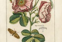 Oude botanisch prenten