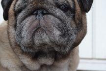 My Pug's / Photos of my pugs