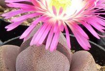 Karoo succulent biome