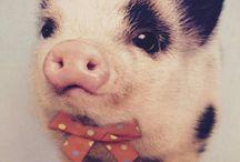 Pig ❤️