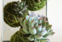 Japanse planten bollen