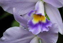 Orquideas Flor Nacional de Venezuela