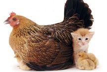 Poules et autre animaux
