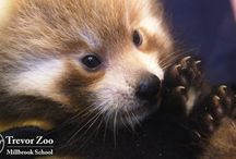 Red Panda Vet Checks / Red panda cubs have a high mortality rate: 50% +. This is one reason why zoos breed the vulnerable species in captivity. Early vet checks are key!