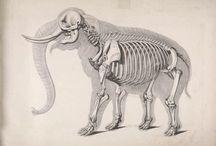 Elephant illustrations