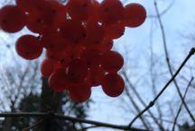 #Калина #Skogsolvon #Viburnum #opulus