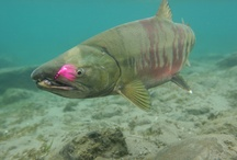 CHUM SALMON / Fly fishing for chum salmon or dog salmon.  Chum salmon on the fly.  Dog salmon on the fly.