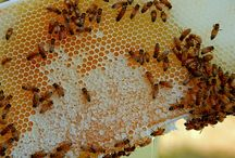 Interesting Honey Facts / None of the information provided here is intended to replace sound medical advice, nor is it recommended for people to stop their prescribed medications. Seek medical advice if symptoms persist or arise. Our intention is to inform people of findings about the potential health-giving benefits of honey & other honeybee related products. We do not confirm any of this information to be true or successful. Always consult with your physician before using any products or changing your exercise routine.