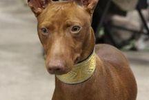 Cirneco dell´Etna - Sicilian hound
