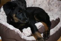 "Cantona - confuseadog  / My sweet, ""little"" Beauceron."