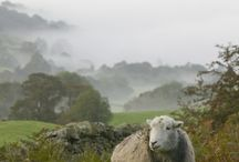 Sheep / Woollies