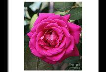 Magenta Rose!