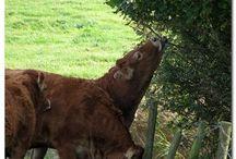 koeien voor opa